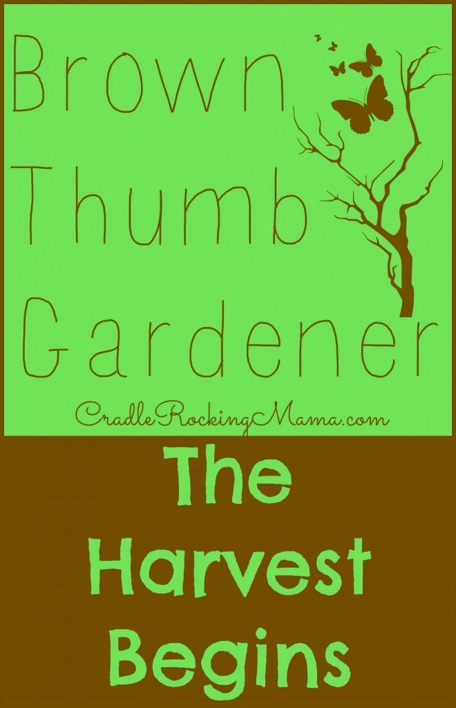 Brown Thumb Gardener - The Harvest Begins CradleRockingMama.com