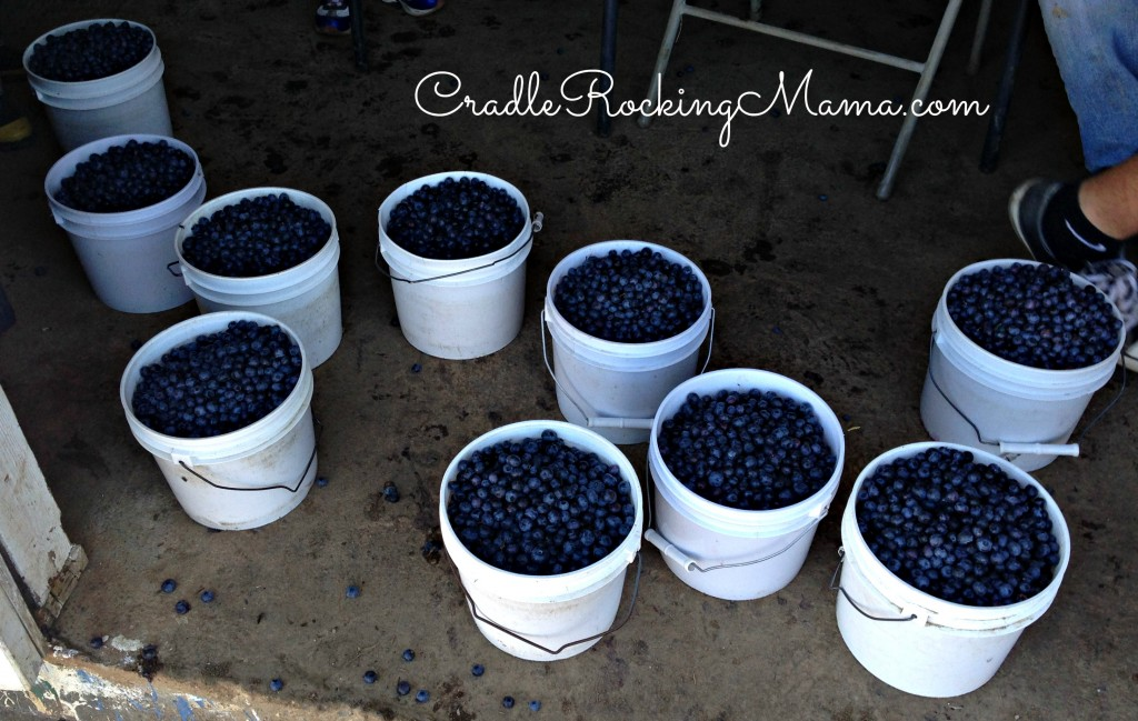Get a ton of blueberries CradleRockingMama.com