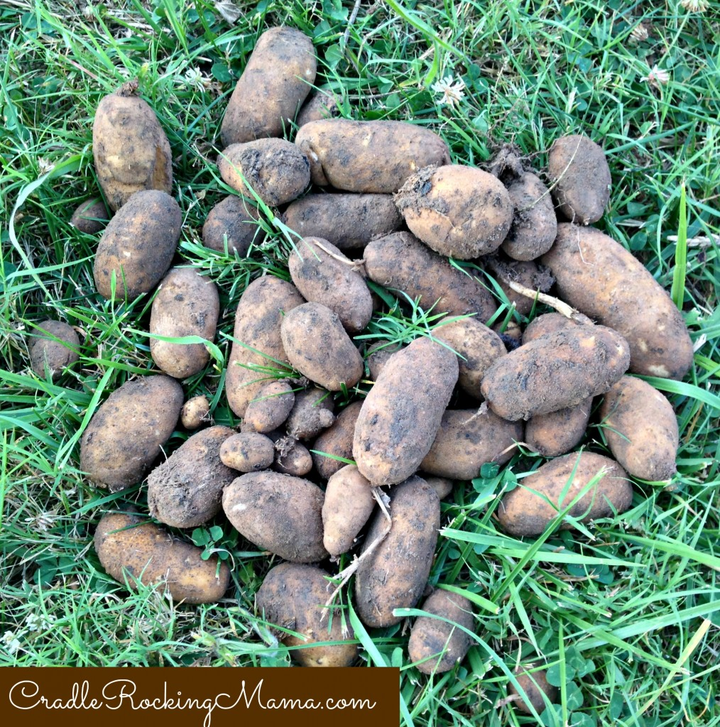 Potato Harvest CradleRockingMama.com